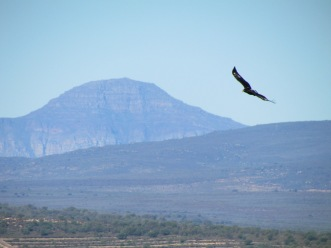 A Verreaux's eagle seen here soaring in its typical habitat. Updrafts on cliff faces likely aid soaring flight. Away from cliffs eagles rely on thermal lift to achieve low cost flights. We found that birds were more likely to remain in an active state at higher wind speeds, which are known to aid soaring flight especially over ridges. (© Megan Murgatroyd)