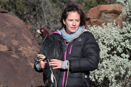 Megan Murgatroyd equipping an eagle with a UvA-BiTS tag used to collect the data presented in our paper. These tags collect high-resolution GPS locations, altitude and three-axis acceleration data. They are able to collect large volumes of data because information is downloaded to a ground station rather than being transmitted via satellite. (© Gareth Tate)