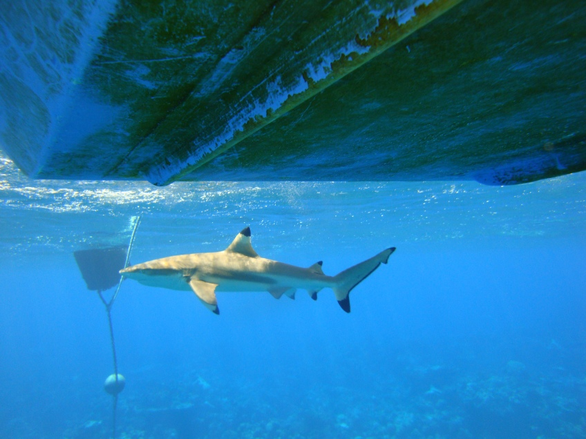 A blacktip reef shark swims around our research boat at Palmyra atoll. In total, we received accelerometer data from four blacktip reef sharks. We calculated overall dynamic body acceleration and used this metric as a proxy for general activity levels. The hidden Markov model was able to distinguish between high level and low level activity, allowing us to understand when the shark was more active! (© Yannis P Papastamatiou)