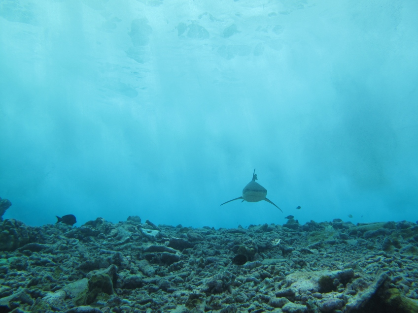 A blacktip reef shark cruising solo at the border between the backreef and forereef, where we see the waves breaking in the background. A few sharks had cameras attached, as well as the accelerometers. However, even with cameras it's hard to know everything the shark is doing! Acceleration data provides a picture of what the shark is doing without having to spend all day underwater swimming after it. (© Yannis P Papastamatiou)