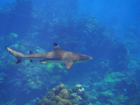 A view from the top of a blacktip reef shark. Applying a hidden Markov model to the observed overall dynamic body acceleration data, we discovered that the sharks use deeper water during the day when they were least active. (© Yuuki Y Watanabe)