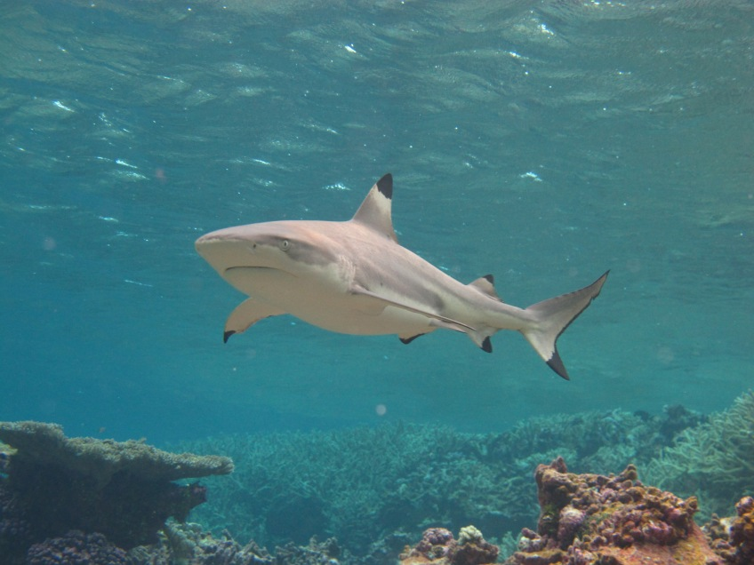 Here comes the blacktip reef shark! Photographed during the day, when these sharks tend to be less active. They 'rest' during these hours in low energy environments, though naturally never stop swimming! (© Yannis P Papastamatiou)