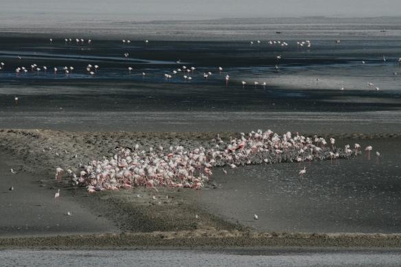 Greater flamingo colony in Fuente de Piedra southern Spain.