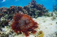 Recurrent disturbances such as Crown-of-Thorns Starfish (Acanthaster planci) outbreaks are important drivers of declines and recoveries in coral reef ecosystems. How can we reliably estimate the effect of local human interventions (for example marine protected areas, MPAs) amid such noise?
