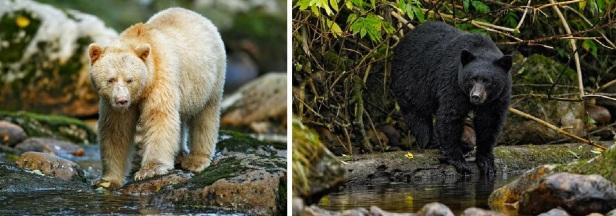 Black bear colour morphs in the Great Bear Rainforest, British Columbia: a rare white 'spirit bear' and a more common black morph © Ignacio Yúfera