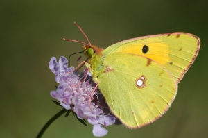 luisa-carvalheiro-butterfly