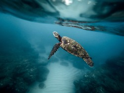 Turtle underwater. ©Jeremy Bishop