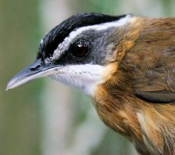 Close up of a black-capped babbler (Pellorneum capistratum), one of the species included in our study.