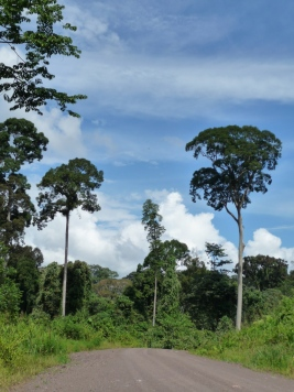 Selectively-logged forest, Sabah, Malaysian Borneo. Note the open canopy level, dense understorey vegetation, and the clearance for a road.