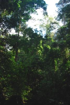 Primary forest habitat, Sabah, Malaysian Borneo