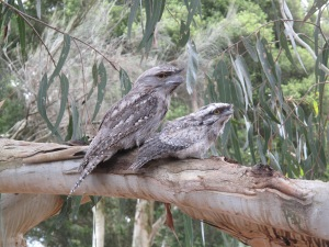 Two tawny frogmouths, a species native to Australia. ©Marie Henriksen.