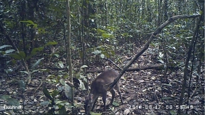 A Maxwell's duiker photographed using a camera trap. Marie-Lyne Després-Einspenner