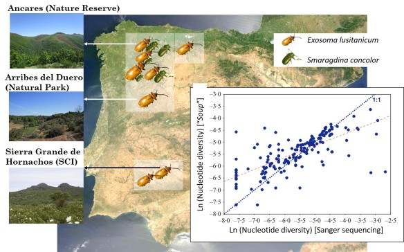 "Genetic diversity assessment of populations of Exosoma lusitanicum and Smaragdina concolor following a ""biodiversity soup"" approach. The size of the beetle photograph represents its genetic diversity. The scatterplot represents the correlation between genetic diversity values obtained through metagenomics and through traditional barcode analyses (original figure in Gómez-Rodríguez et al. 2017)"