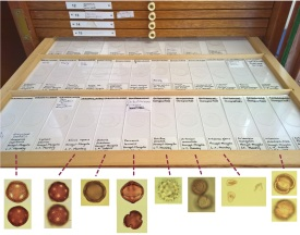 A drawer from the Oxford Long-Term Ecology Lab (OxLEL) pollen reference collections, which has been digitised into the Global Pollen Project reference set.