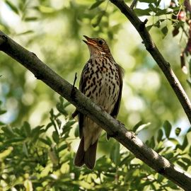 The song thrush was not affected by cold winters. ©Taco Meeuwsen