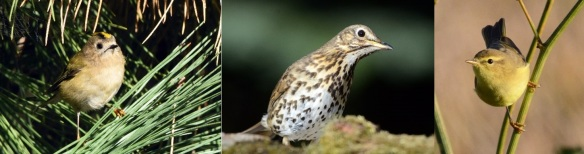 Three of the five species included in our case study: goldcrest (left), song thrush (centre) and willow warbler (right). © Steve Buckland