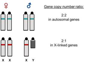 In lineages with differentiated sex chromosomes, males and females differ in number of copies of genes linked to sex chromosomes (illustrated in red color). These differences can be quantified in DNA samples and used for molecular sexing.