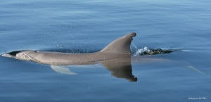 Individual recognition of a bottlenose dolphin using the dorsal fin shape.