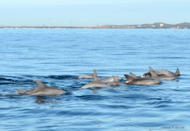 Pod of bottlenose dolphins observed in Cockburn Sound, Perth, Western Australia.