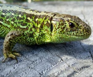 The sand lizard (Lacerta agilis).