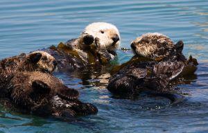 Sea otters in Morro Bay, CA. ©Mike Baird
