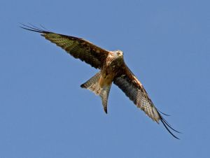 Multi-State SDMs could help with Red Kite conservation efforts. ©Tony Hisgett