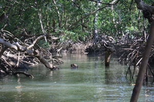 A mangrove creek in an Amazon estuary of Pará, Brazil. The Amazon delta has one of the largest mangrove estuaries in the world and houses a large biodiversity. ©Kim Vane