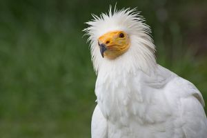 The endangered Egyptian vulture. ©Carlos Delgado