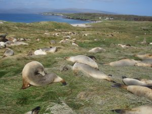 A colony of New Zealand sea lions. © Amélie Augé