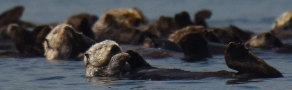 Sea otters resting in Glacier Bay National Park. © Jamie Womble, NPS. USFWS Permit #14762C-0, NPS Permit #GLBA-2016- SCI-0022.