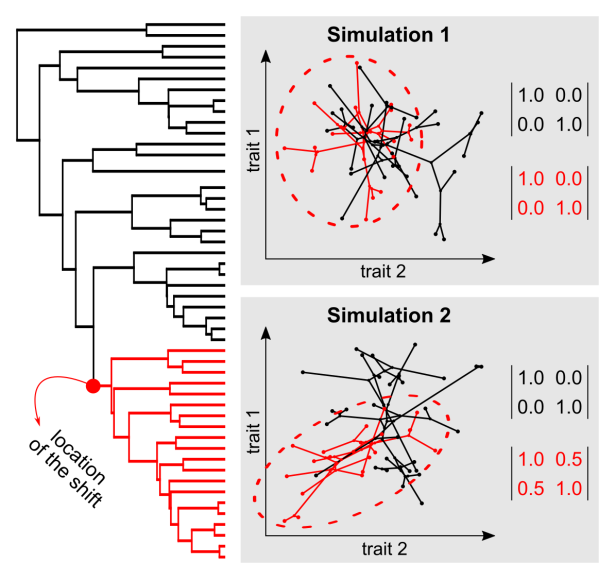 Two traits simulated to evolve following the phylogenetic tree on the left. Simulation 1 (top) shows results with no correlation between the traits across the whole tree. Simulation 2 (bottom) shows the result of strong positive evolutionary correlation between the traits on the red clade (shift in the mode). Matrices show the correspondent variances (on the diagonal) and covariances (on the off-diagonals) used in the simulations. ©DS Caetano