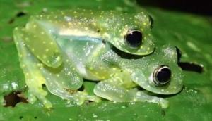 Sachatamia albomaculata, a type of glass frog, that experiences mortality due to Bd infection.