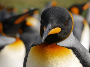 King Penguins and other animals feed on mesopelagic fish. © Camille Le Guen (PERG)