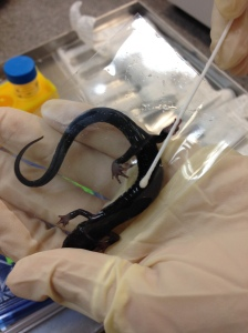 A salamander having its skin swabbed to test for Bsal infection.