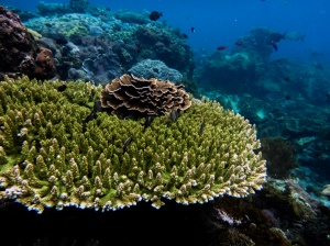 The growth form of corals is highly variable. ©Jessica Reichert