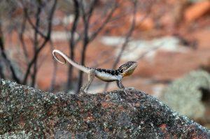 Ctenophorus fionni (Peninsula Dragon), male push up display - Copyright Jose Ramos, La Trobe University