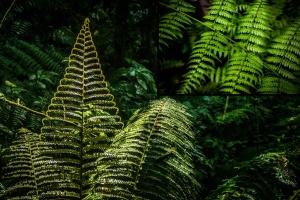 The self-similar growth form of a fern resembles a fractal. ©Jessica Reichert