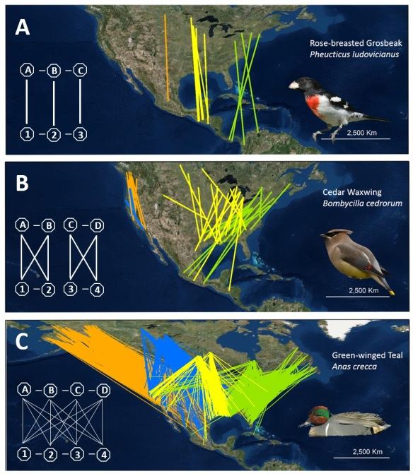 Examples of migratory connectivity from the North American Bird Banding Laboratory ringing and re-encounter data, including (A) strong connectivity, (B) intermediate connectivity, and (C) weak connectivity. © Amy Scarpignato