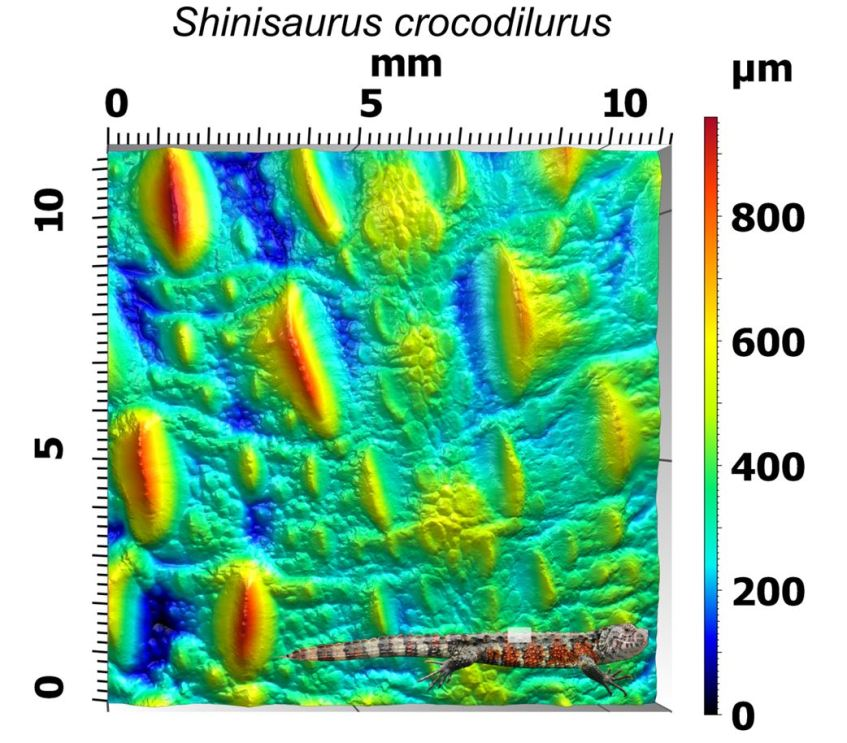 The above image shows a dorsal patch of skin from the Chinese crocodile lizard (Shinisaurus crocodilurus). This lizard is an endangered semiaquatic species with skin similar in appearance to a crocodiles (as its name suggests). Gel-based profilometry provides a non-destructive way of investigating the skin morphology of this species using museum specimens. Images: Dylan Wainwright and spacebirdy (CC-BY-SA-3.0). (http://bit.ly/2jCtvb4)