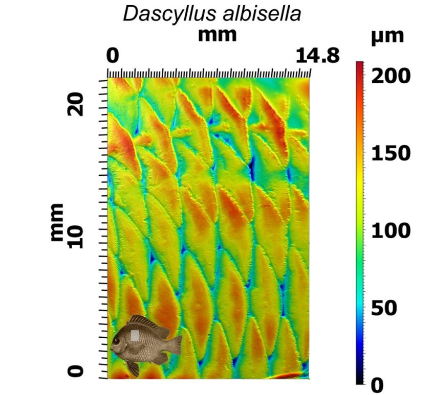 In this picture you can see the surface topography of Dascyllus albisella, reconstructed from the six greyscale images in the previous image. This image captures the lateral line, visible at the top of the image as a row of scales connected by a canal. Heights on this surface are shown as colours: the warmer the colours (oranges and reds), the higher the heights. The height range of this surface is just over 200 microns – the highest parts of the surface are over 200 microns higher than the lowest . Images: Dylan Wainwright and the Freshwater and Marine Image Bank.