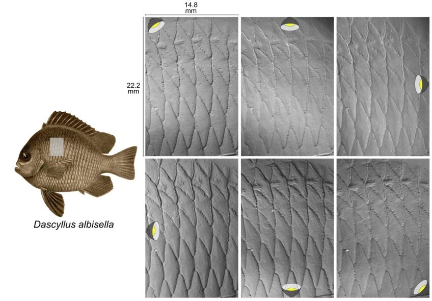 The six greyscale photographs in this image are of the scales from the Hawaiian dascyllus (Dascyllus albisella). Each image has a different lighting angle and all six will be used to reconstruct the surface topography on this patch of scales. Imaging a surface is as fast as positioning the specimen and taking six photographs. No specimen preparation is required – this method can be done on clear, shiny, wet, and slimy surfaces! Images: Dylan Wainwright and the Freshwater and Marine Image Bank.