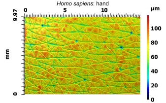 Gel-based profilometry is non-invasive and only needs pressure to be applied to the surface of interest to get the image. Above is the surface topography of the back of a human hand. The pores are evident as small blue regions with low elevation. Long flexible structures like hairs will be pressed flat by the sampling gel, as seen in the hairs above. Image: Dylan Wainwright.