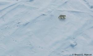 A polar bear from a helicopter