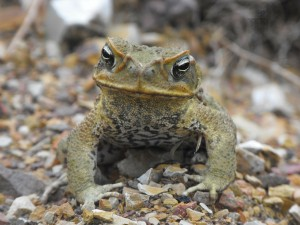 The introduction of the Cane toad to Australia shows the consequences of poor expert judgements.
