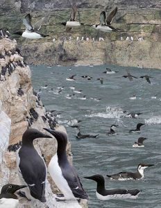 Common guillemots were one of the species used in this study. ©Richard Crossley
