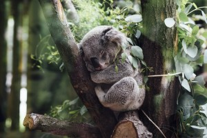 Expert judgement is used to predict current and future trends for Koala populations across Australia