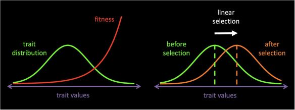 When individuals with larger trait values have higher fitness on average (left panel), the trait distribution of successful individuals is shifted towards the right (right panel, orange curve). The difference in mean trait values between the winners and the general population is called linear selection.