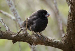 In the medium ground finch, beak size shows two distinct fitness peaks, possibly best suited for feeding on two different sizes of seeds. ©putneymark