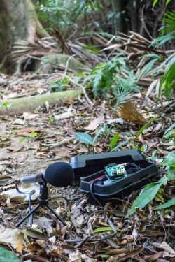 A Solo recorder in the field. ©Tom Bradfer-Lawrence
