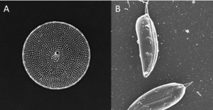 A fossilized species of the diatom Thalassiosira. B. A species of the dinoflagellate Prorocentrum. Image provided by A. Ndhlovu).